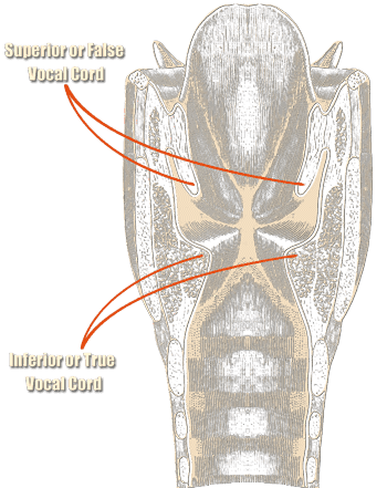 Larynx with vocal folds